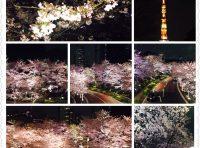 ?夜桜を見てきました?