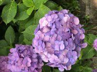 紫陽花を見て来ました。          大泉本店